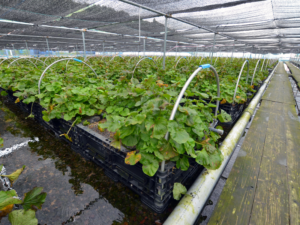 1年中収穫が可能。安定した水温のおかげだそうです。